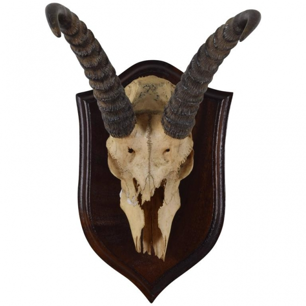 Springbok Horn and Partial Skull Mount