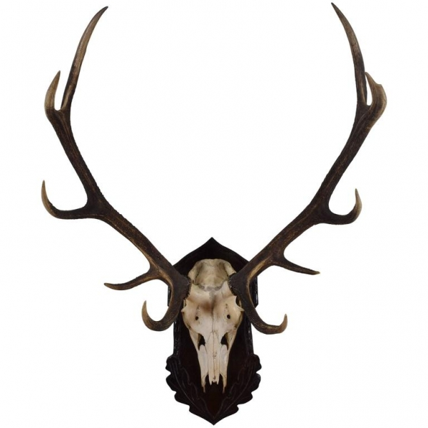Large Deer Antler and Partial Skull Mount