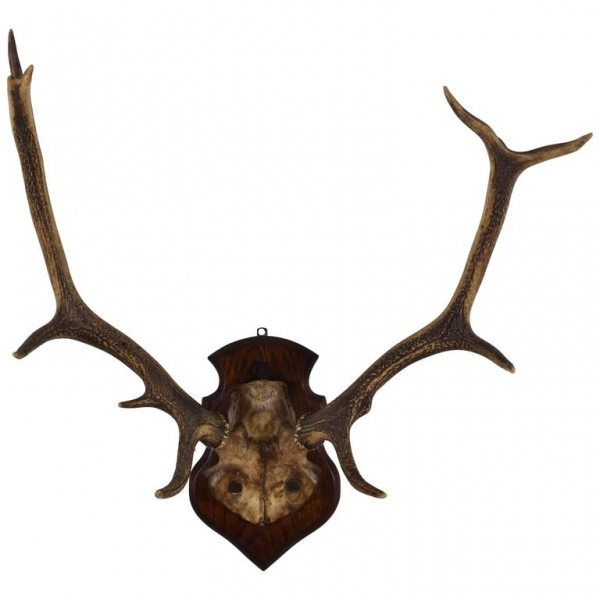 Deer Antler and Partial Skull Mount