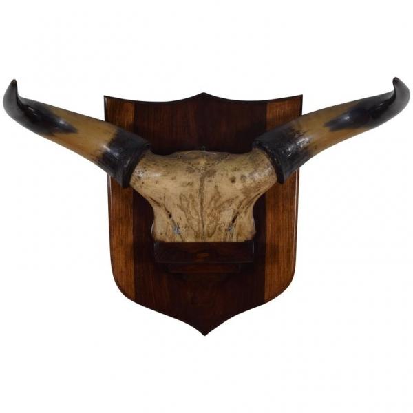 Bovine Horn and Partial Skull Mount