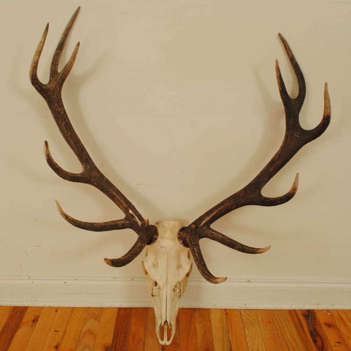 Elk Skull Mount Robuck Co